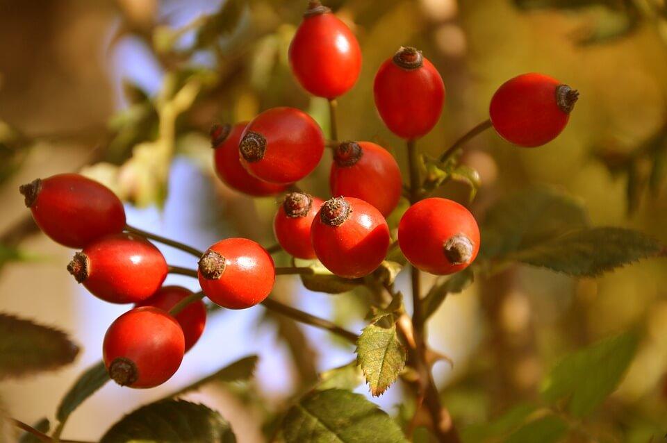 напиток из плодов шиповника